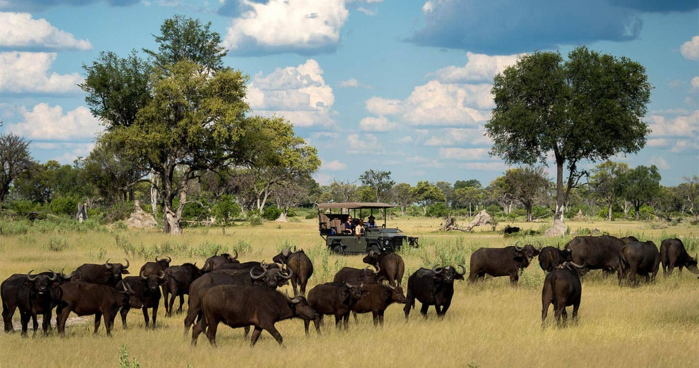 Cape Buffalo in the Chobe National Park - Meet all of the Big Five