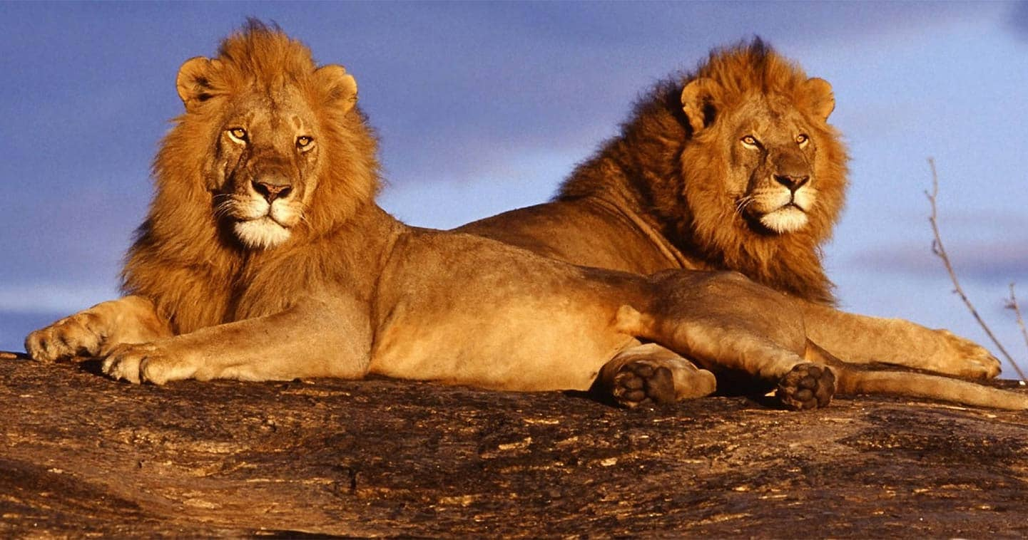 Chobe lions spotted during a Big Five Safari