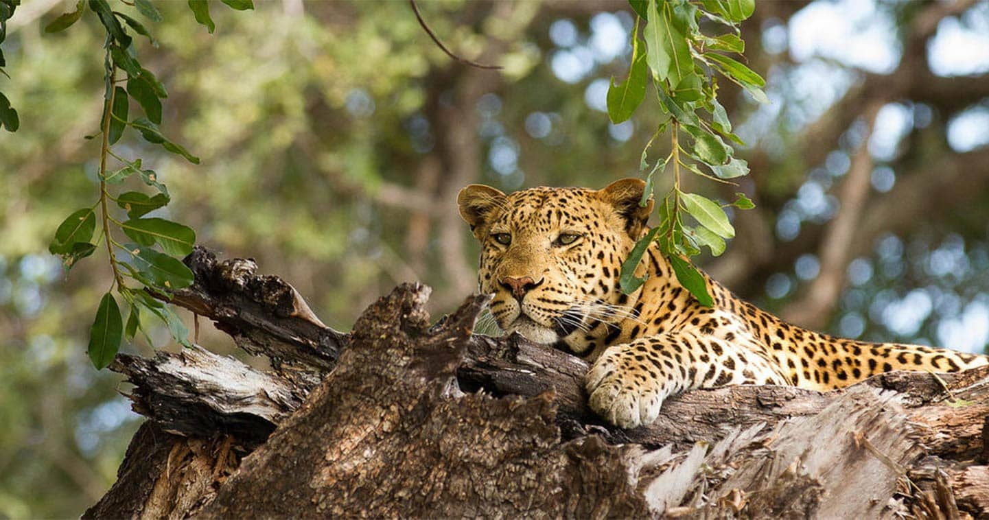 Leopard in The Chobe National Park